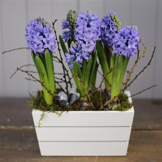 A Hyacinth Planted Crate